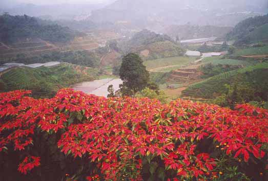 Overlooking Cameroon Highlands from the flower farm