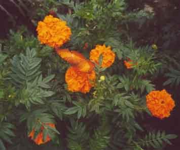 An orange butterfly in the butterfly farm
