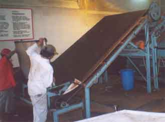 Dumping dried tea leaves onto the conveyor belt for packaging