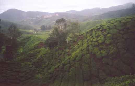 The Boh tea plantation
